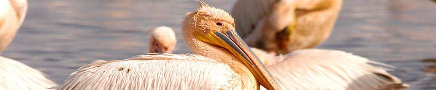 GREAT-WHITE-PELICAN
